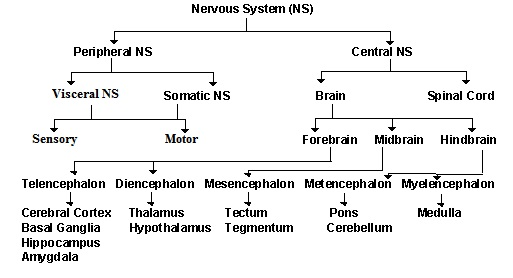 Human Physiology Neurons The Nervous System Ii