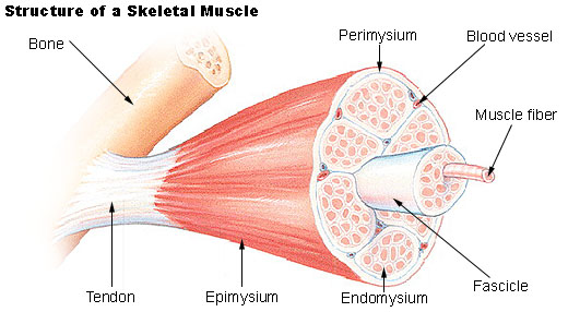 human physiology - muscle, Human body