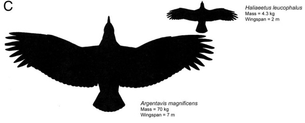 Eagle Wingspan Compared To Human | www.pixshark.com ...