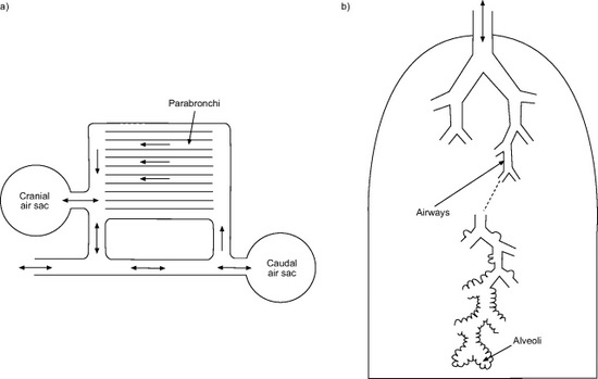 Comparison of the avian 'unidirectional' respiratory system (a) where gases are exchanged between the lungs and the...