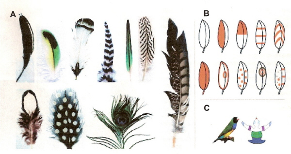 Color patterns of feathers   Bird Feathers Drawing