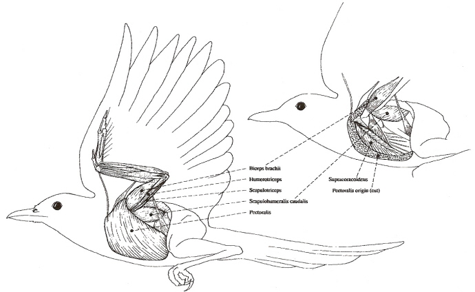 bird flight ii bird flight diagram bird anatomy diagram