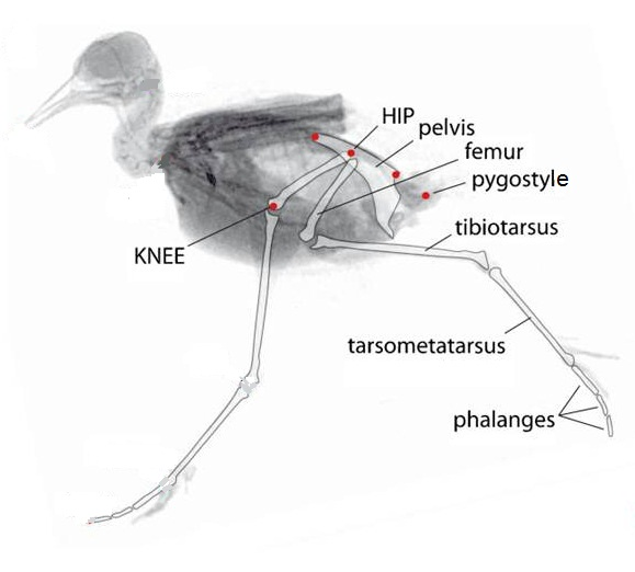 Northern_Lapwing_running diagram of bird running data wiring diagram blog