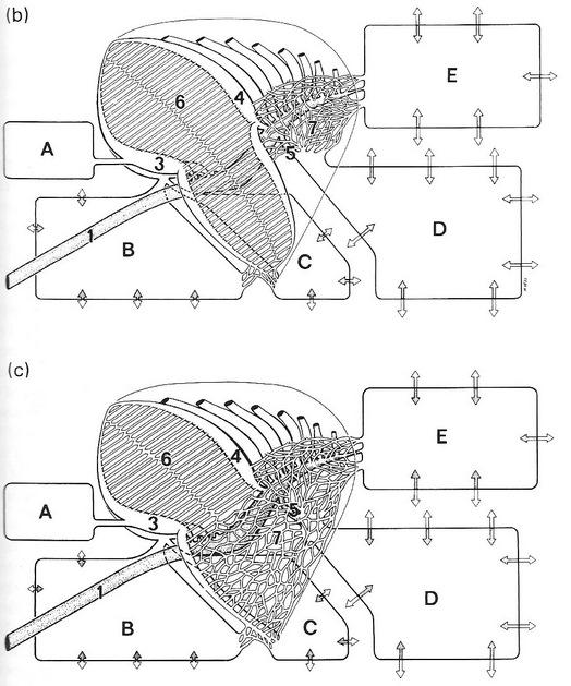 Bird Respiratory System