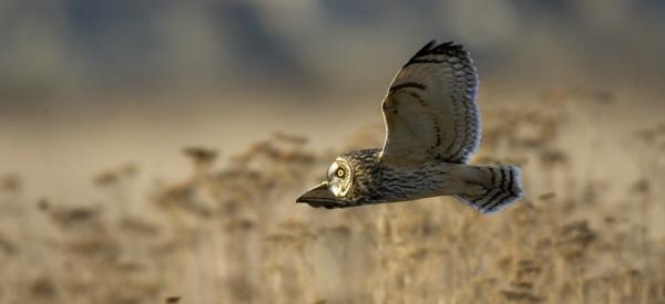 [Image: SE_Owl_flying2.jpg]