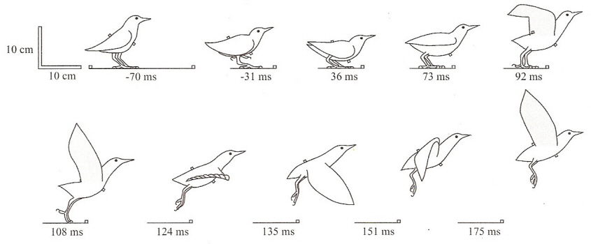 bird flight Pigeon Anatomy Diagram drawings showing a starling taking off from the ground
