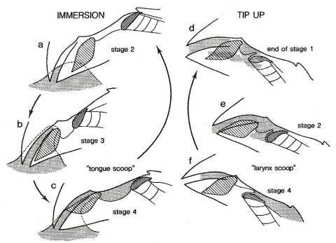 Avian osmoregulation drawings showing how bengalese finches drink water ccuart Images