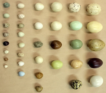 Egg Development in Birds http://people.eku.edu/ritchisong/avianreproduction.html
