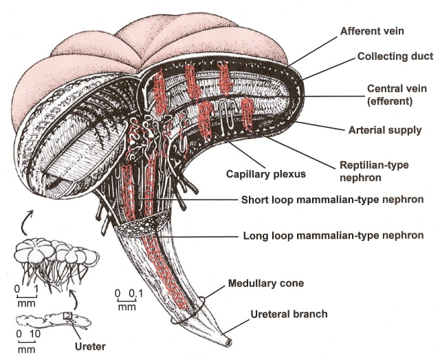 Image from Sherwood et al  Reptile Excretory System