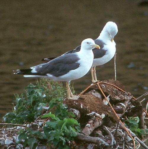 Внешний вид.  Очень мелкая чайка (размах крыльев 60-70 см), с сероватыми...