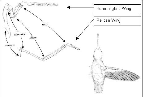 Hummingbird beak diagram - photo#4