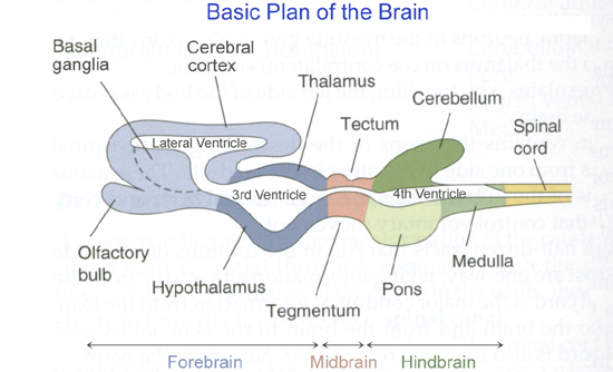 nervous system notes