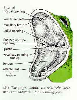 The internal anatomy of a frog
