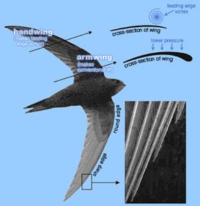 Ornithology Lecture Notes - Flight