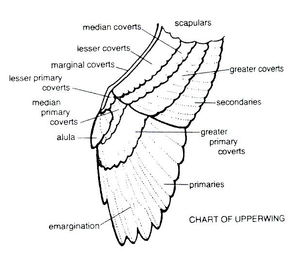 parts of a pigeon