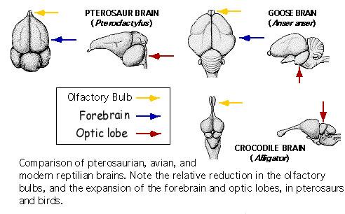 Chicken brain diagram search for wiring diagrams avian brain senses rh people eku edu brain anatomy diagram parts of the brain diagram ccuart Choice Image