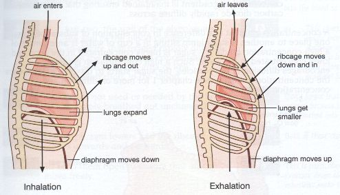 human physiology respiration rh people eku edu  comparing inhalation and exhalation diagram