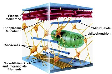 Cytoplasm consists of a gelatinous solution and contains microtubules ...