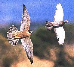 [تصویر:  falcon-pigeon.jpg]
