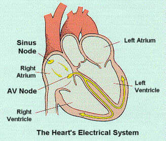 Lec9answers d several areas of the heart are made up of such automatic cells ccuart Images