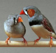 Female Birds Can Bias The Sex Their Chicks Zebrafinch_2
